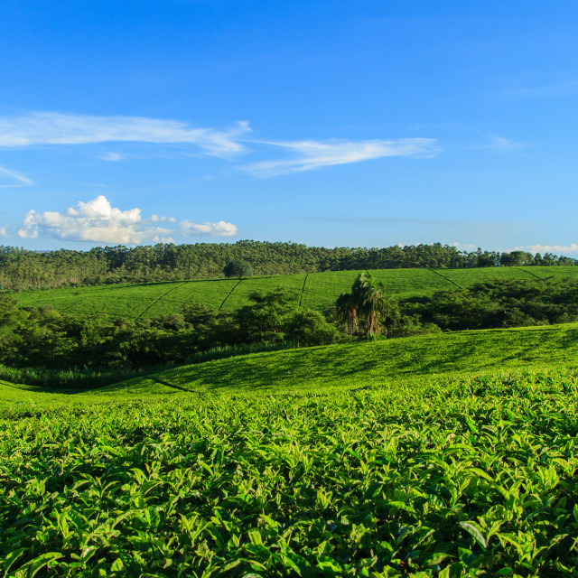 """Fields of Green Tea"" stock image"