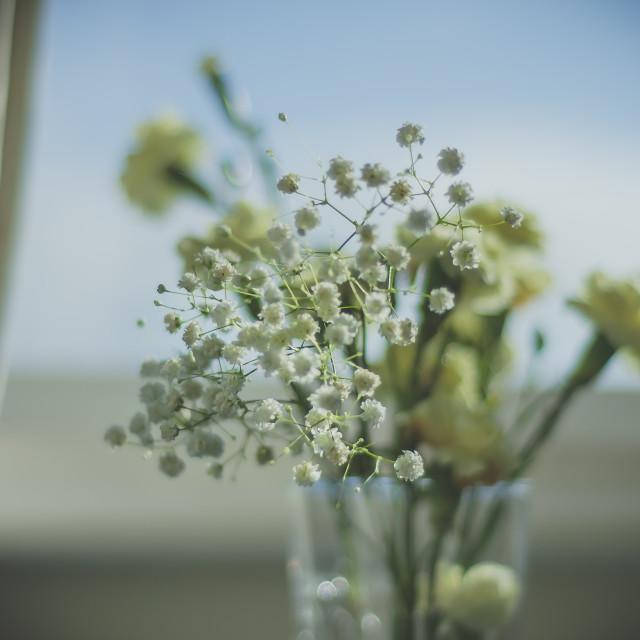 """""""Gypsophila Flowers"""" stock image"""