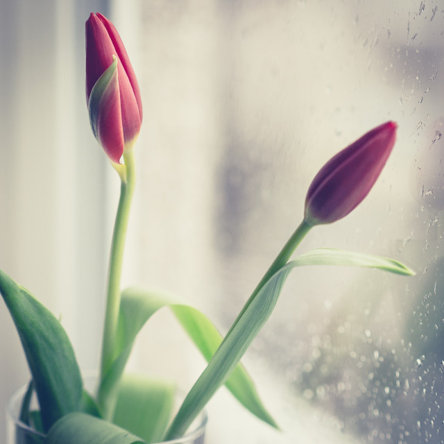 """Tulips in the window"" stock image"