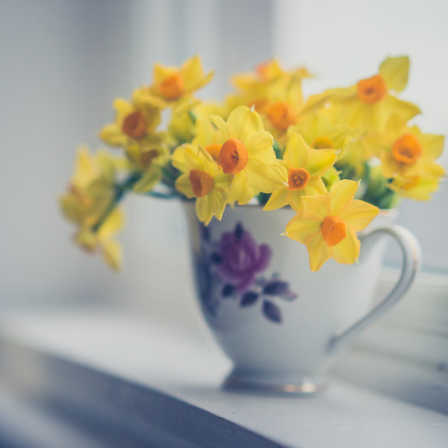 """Daffodils in a teacup"" stock image"