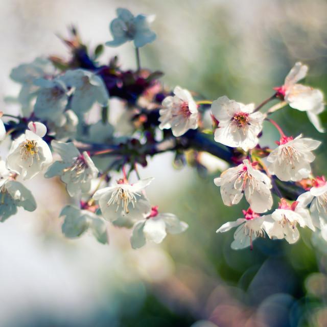 """""""White Blosson"""" stock image"""