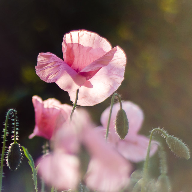"""""""Pink Poppies"""" stock image"""