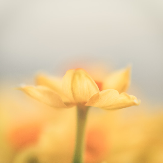 """""""Daffodil wide open"""" stock image"""
