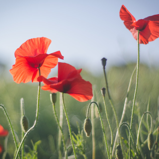 """Poppies in the wind"" stock image"