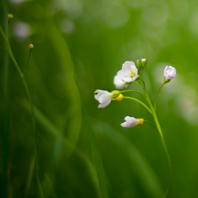 """Little White Flower"" stock image"