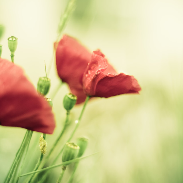 """Poppies after the rain"" stock image"