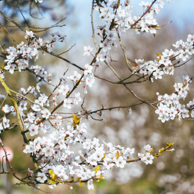 """""""Early Blossom"""" stock image"""
