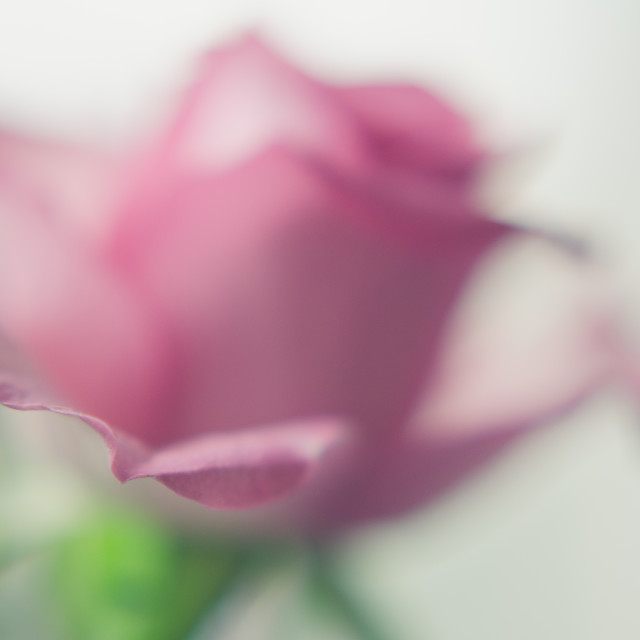 """Soft Pink Rose"" stock image"