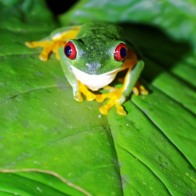 """Red Eyed Tree Frog, Manuel Antonio National Park, Costa Rica"" stock image"