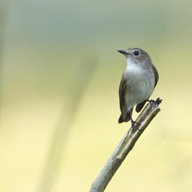 """Asian brown flycatcher bird in Nepal"" stock image"