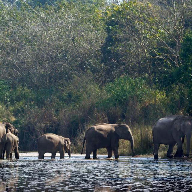 """Wild asian elephants in Bardia, Nepal"" stock image"