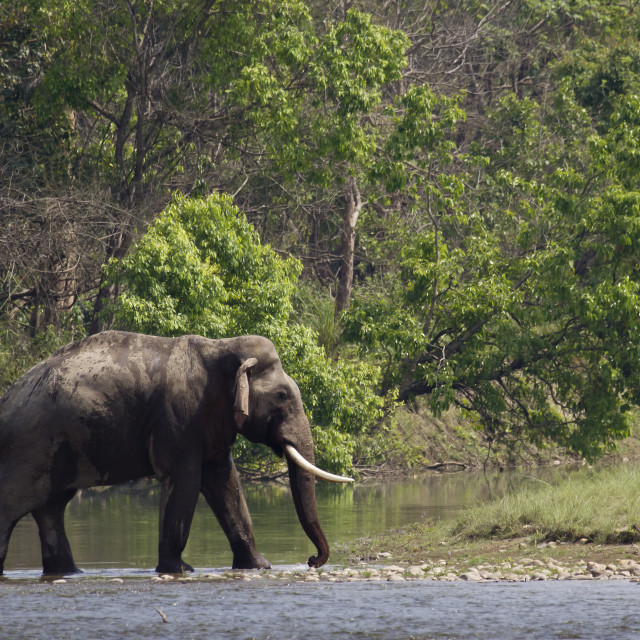 """Wild asian elephant in Bardia, Nepal"" stock image"