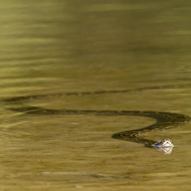 """Asian python in Bardia, Nepal"" stock image"