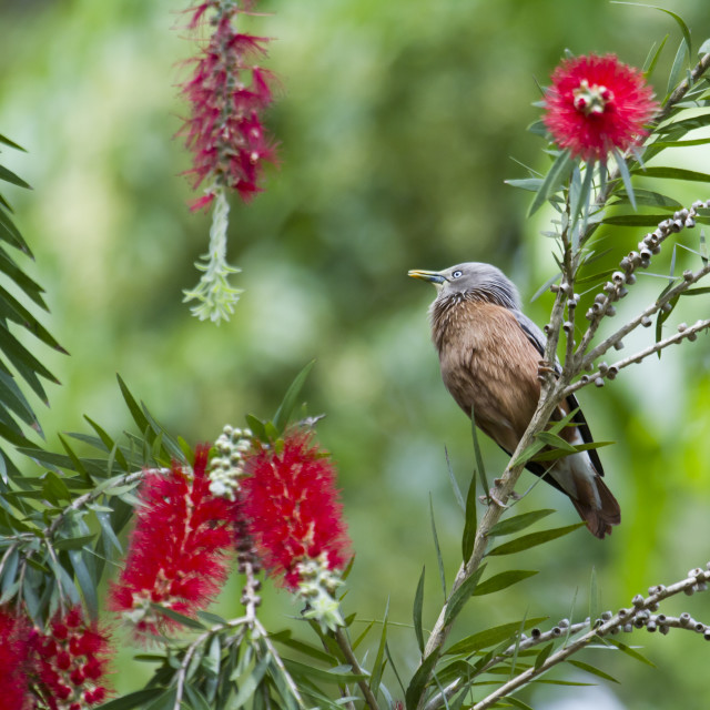 """Chestnut-tailed starling in Bardia, Nepal"" stock image"