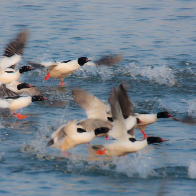 """""""Flight of common merganser group in Nepal"""" stock image"""
