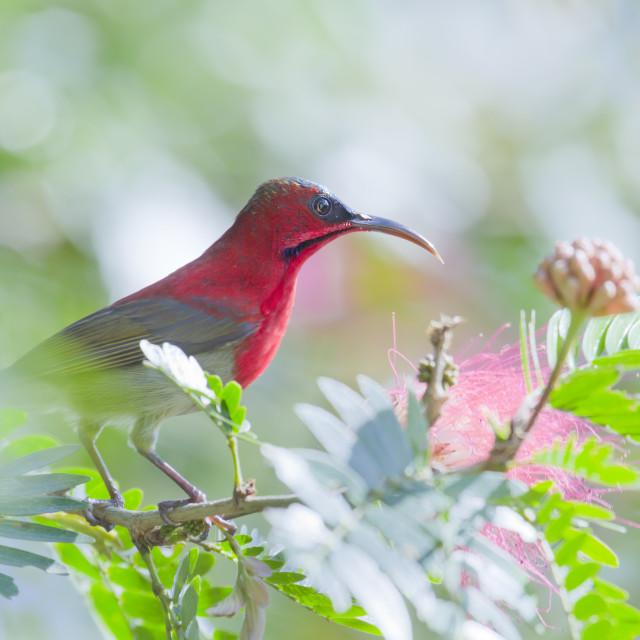 """Crimson sunbird in Bardia, Nepal"" stock image"
