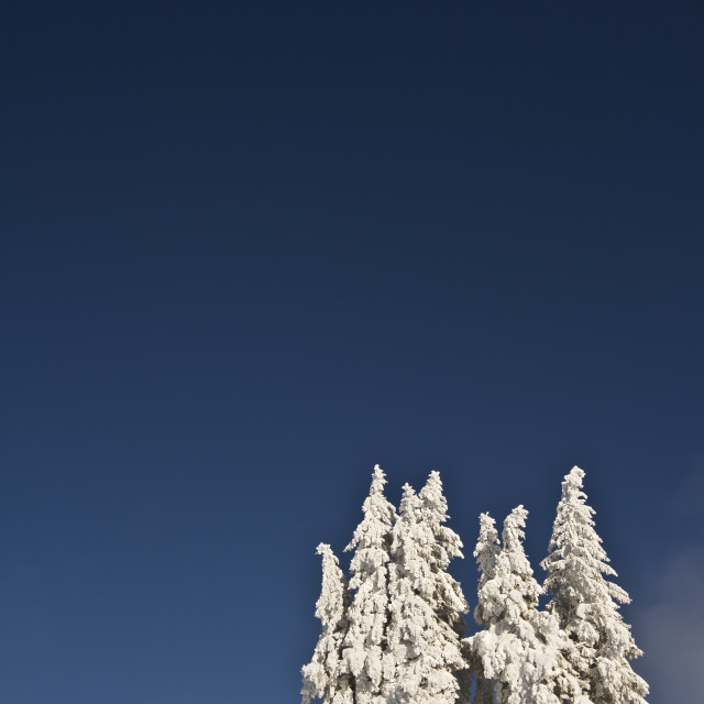 """""""Snowy fir tree in winter time"""" stock image"""