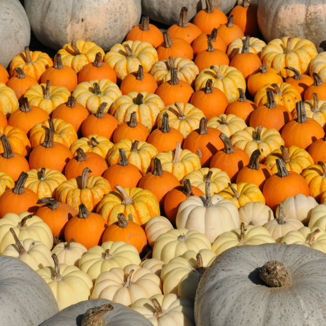 """Colorful Pumpkins"" stock image"
