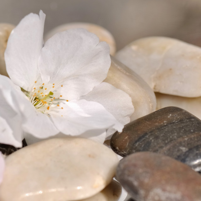 """delicate cherry blossom on pebbles"" stock image"