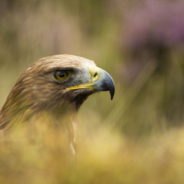 """""""Common Eagle Two"""" stock image"""