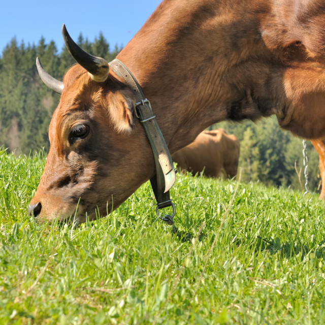 """grazing in pasture"" stock image"