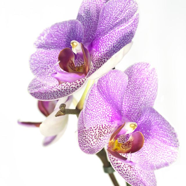 """Purple Orchid"" stock image"