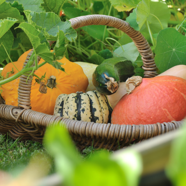 """basket of squash in garden"" stock image"