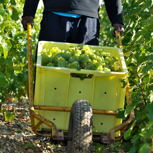 """""""grapes harvest"""" stock image"""