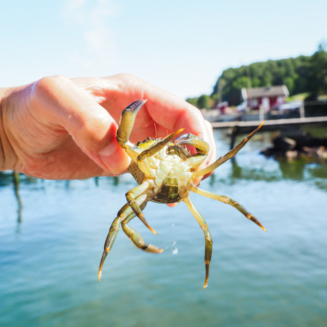"""""""Person holding an alive crab in front of a beach and green water at summer"""" stock image"""