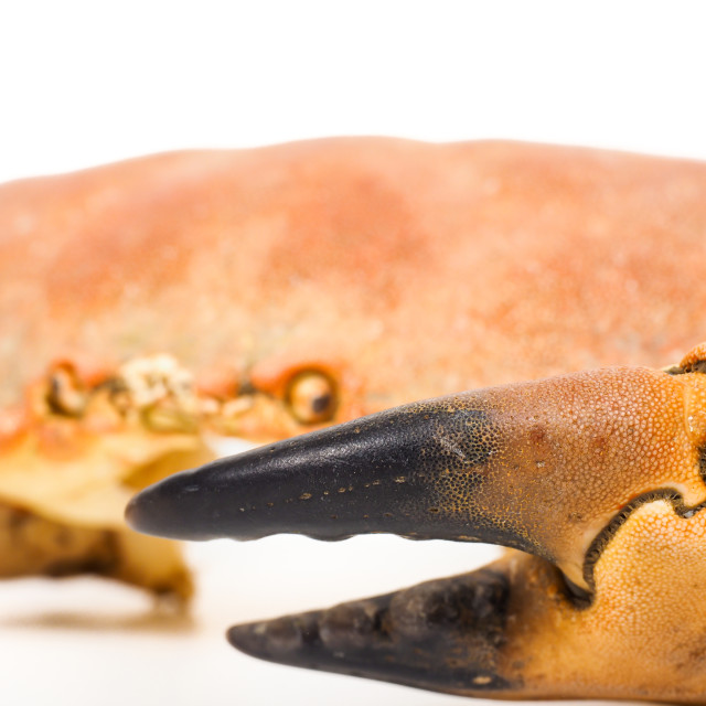 """""""Extreme closeup of a crab claw with crab eyes staring over"""" stock image"""