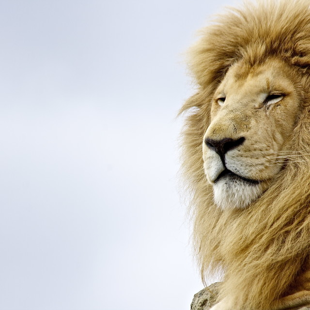 """King of the Jungle"" stock image"