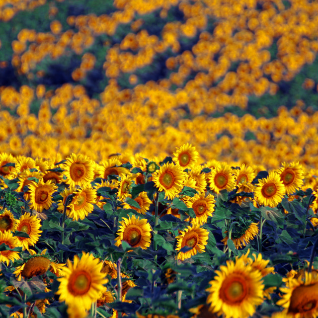 """Sunflower Field"" stock image"