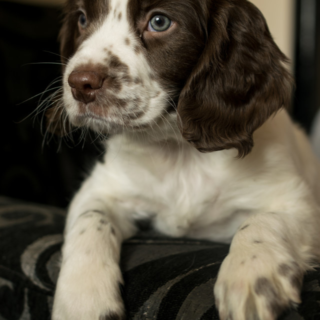 """Springer Spaniel Puppy"" stock image"
