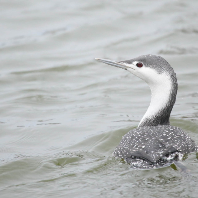 """Red-throated diver"" stock image"