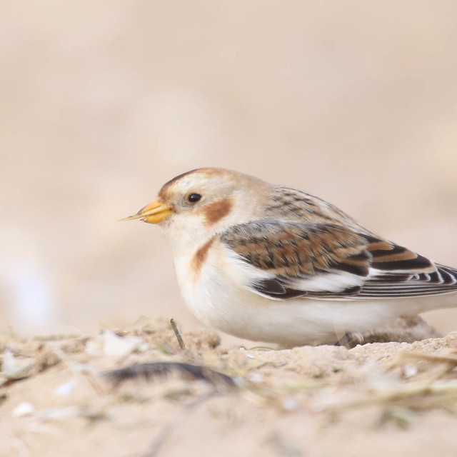 """Snow Bunting"" stock image"