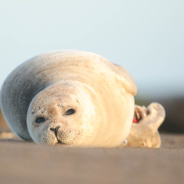 """Common Seal"" stock image"