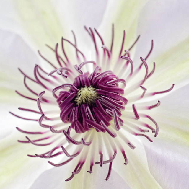 """Clematis"" stock image"