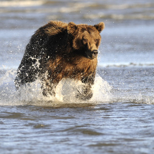 """""""Brown or grizzly bear"""" stock image"""