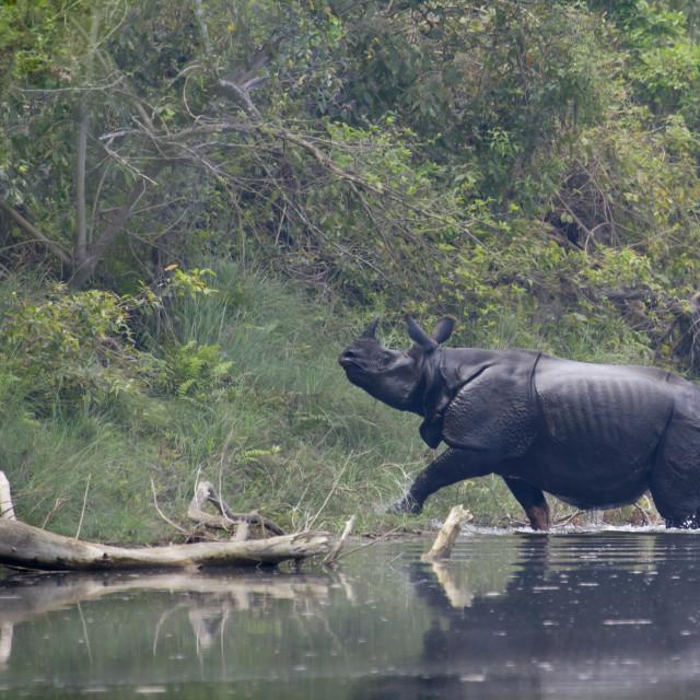 """Wild asian rhinoceros in Bardia, Nepal"" stock image"
