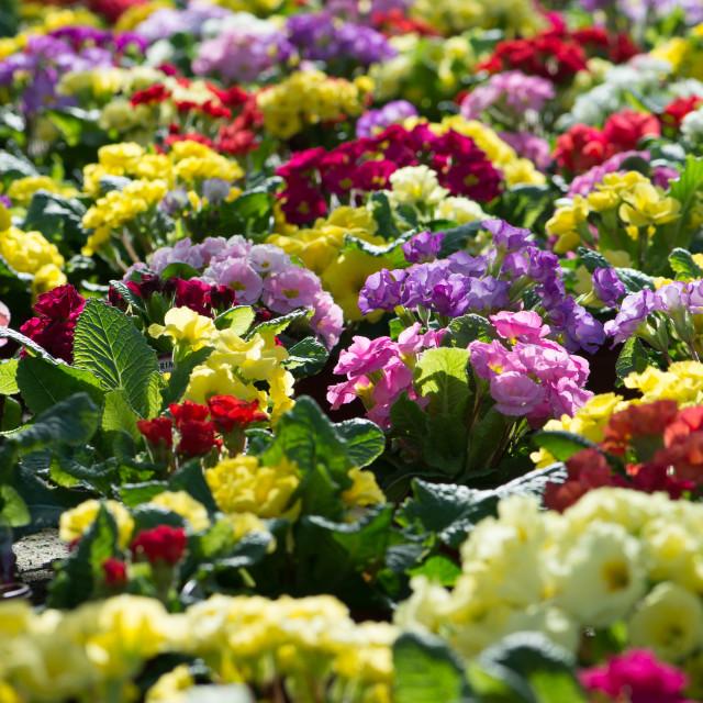 """""""Primula colour field"""" stock image"""