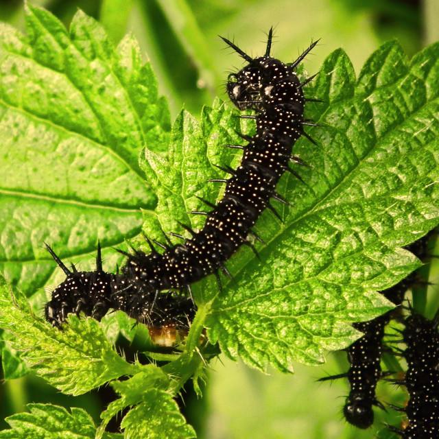 """Mr. Caterpillar"" stock image"