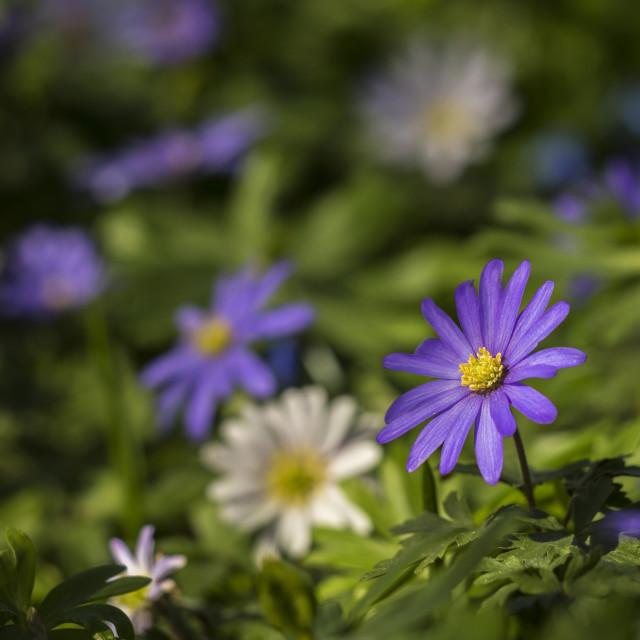 """Anemone Blanda"" stock image"