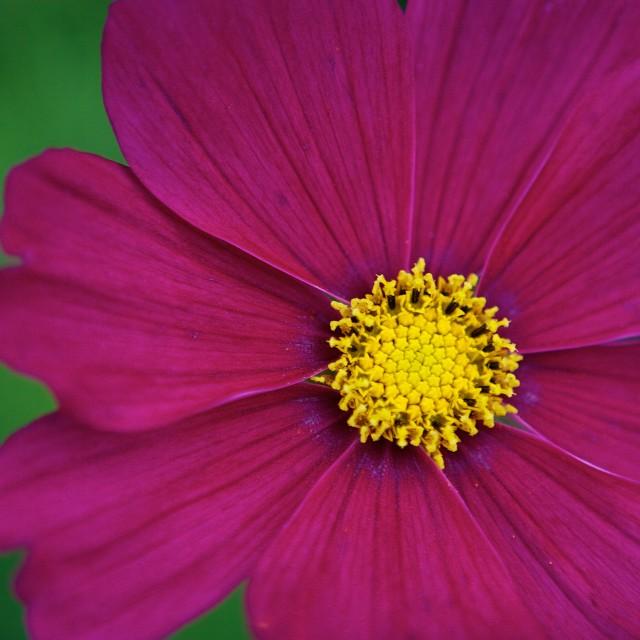 """Deep Pink Flower"" stock image"