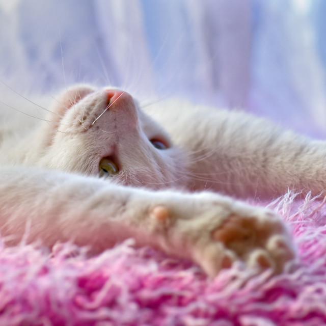 """White cat stretching on back"" stock image"