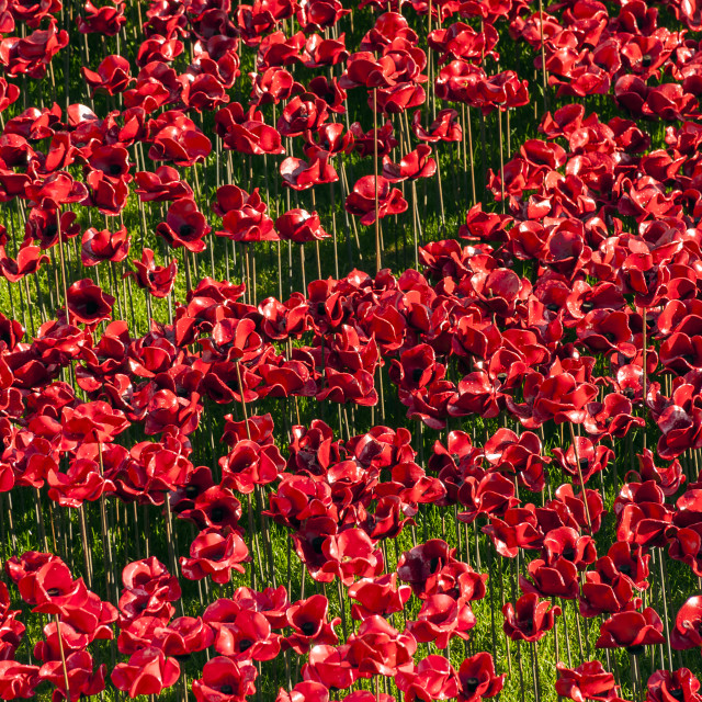 """Poppies in London Remembrance"" stock image"