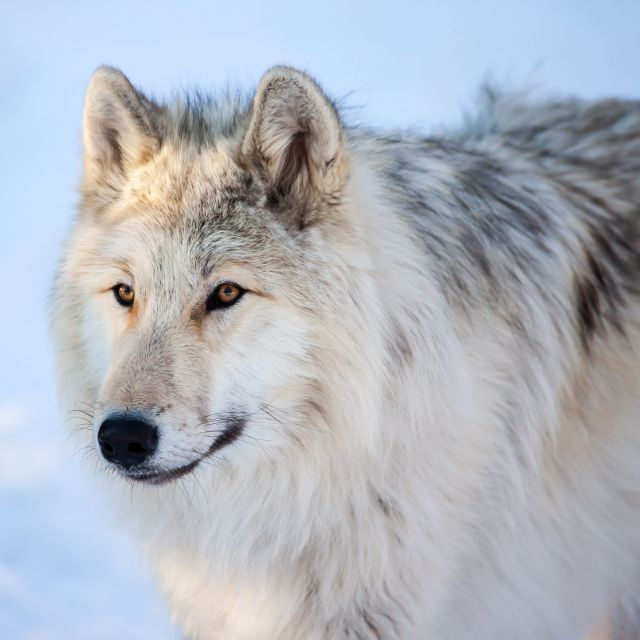 """Canadian/Rocky Mountain gray wolf"" stock image"