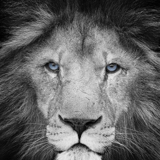 """""""Roar"""" stock image"""