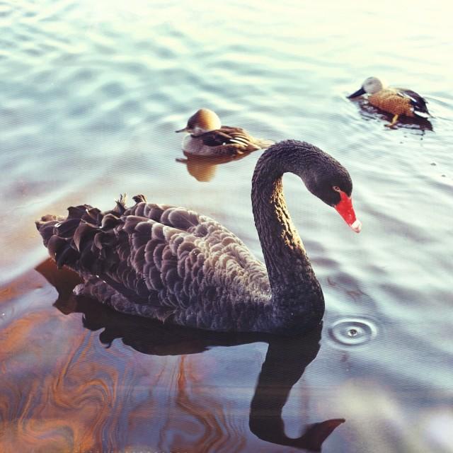 """Black Swan"" stock image"