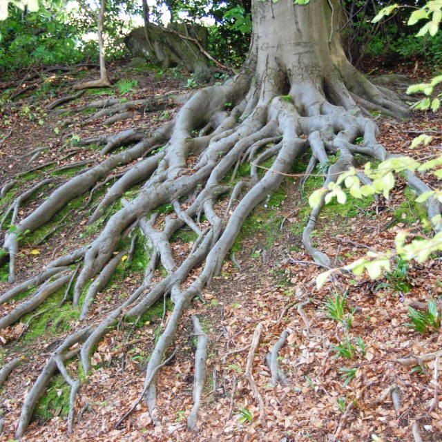 """""""Beech roots"""" stock image"""