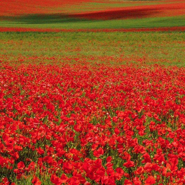 """poppy field in sussex"" stock image"